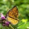 Tiere 07 Schmetterling Perlmutterfalter