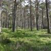 Heidelbeeren im Kieferwald